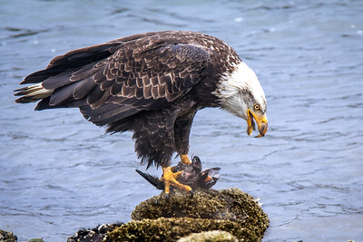 American Bald Eagle feast