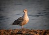 Portait of a Juvenile Western Gull