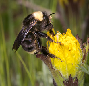 Golden paintbrush, is pollinated exclusively by bumblebees. They have the necessary long tongue.