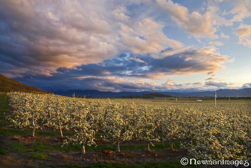 Rogue Valley Orchard Bloom