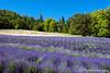 Lavender in the Applegate