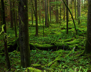 Moss and fern-covered forest floor, Clackamas River Canyon