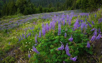 Mountain Lupine Meadow