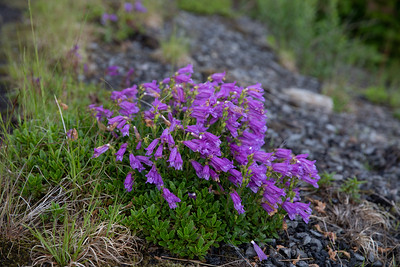 Penstemon bunch