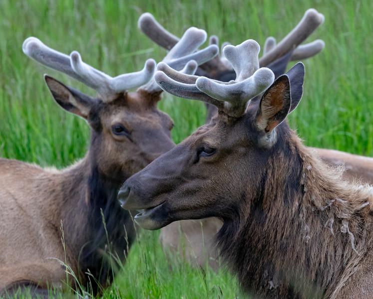 Wild Elk near Reedsport, Oregon