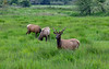 Wild Elk near Reedsport, Oregon