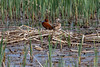 Cinnamon Teal - Malheur NWR in Oregon