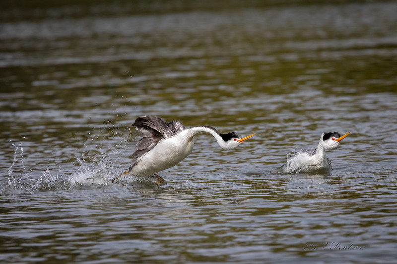 Dancing Grebes  propel themselves out of water to begin courtship ritual -  Klamath Falls Basin, Oregon