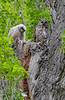 Great Horned Owl chick and a parent in Diamond, Oregon