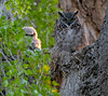 Great Horned Owl chick and a parent in Diamond, Oregon at sunset