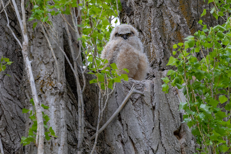 Great Horned Owl chick in Diamond, Oregon