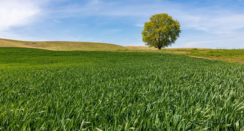 Palouse wheat and tree