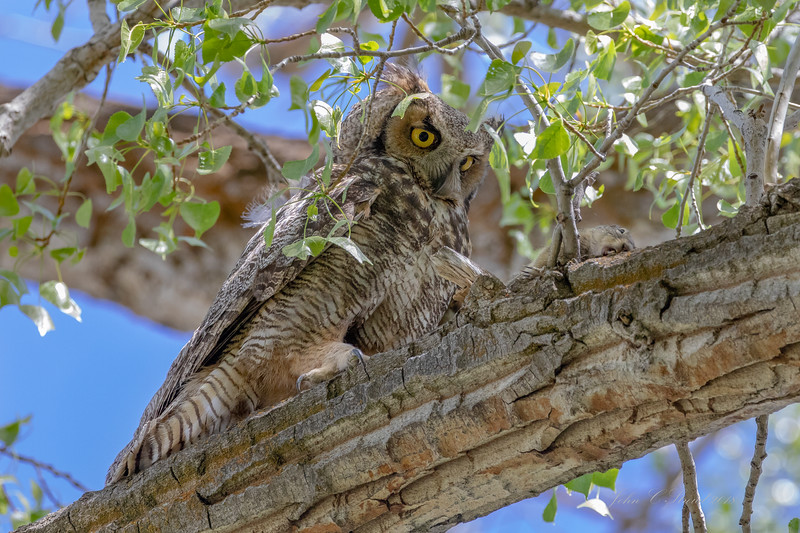 Great Horned Owl just moments after scoring one of the ground squirrels for her nesting chicks located in an adjacent tree - Malheur NWR in Oregon