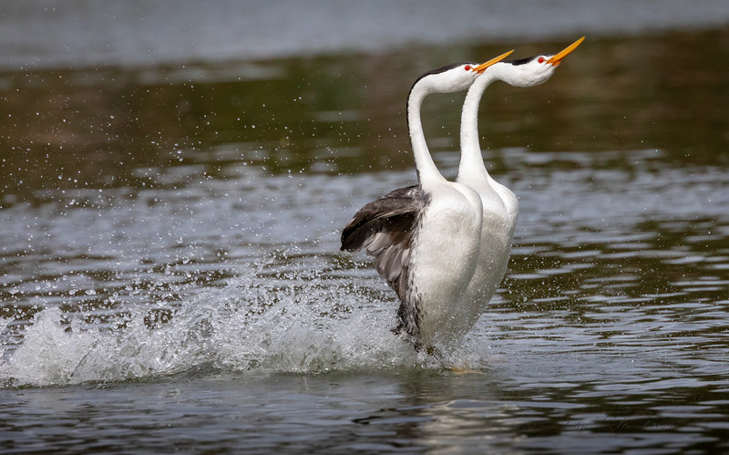 Fully free from bond of water and fully engaged in courtship dance!