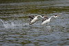 Grebes are just now breaking free of water to begin their dance