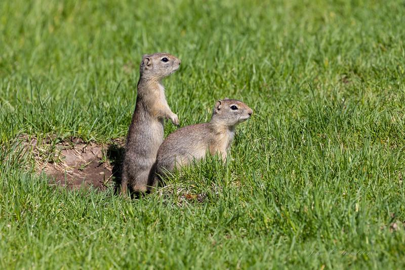Belding Ground Squirrels on high alert for predators - Malheur NWR, Oregon