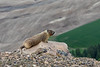 Everyone enjoys the view of Palouse from Steptoe Butte - even this yellow-bellied marmot!