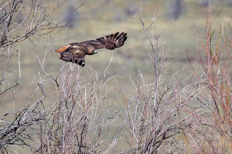 Red-Tailed Hawk at Malheur NWR in Oregon