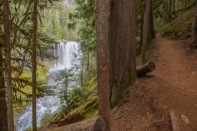 Trail passes through old forest near Koosah Falls