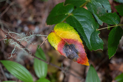 Rainbow-colored Oregon grape or barberry