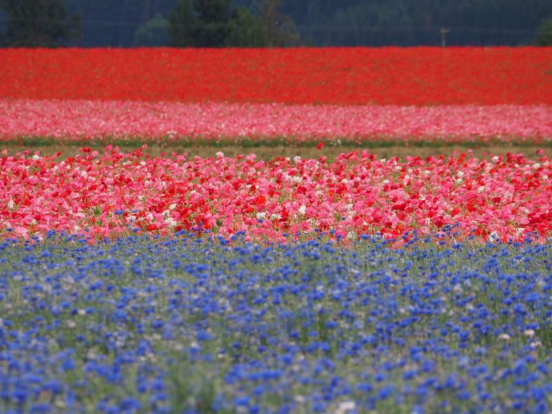 Willamette Valley Flower Fields