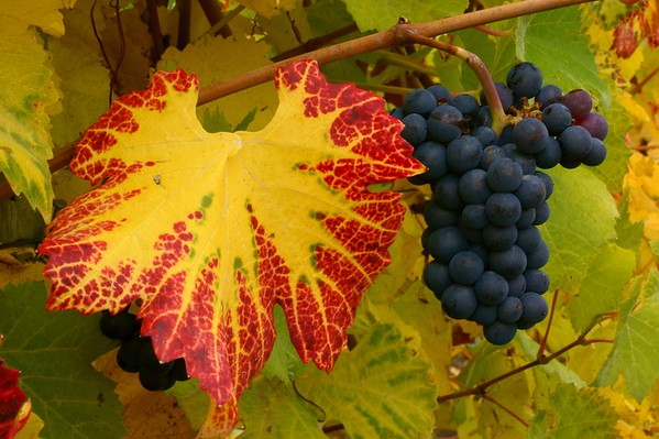 Pinot noir grapes at harvest time, Eola Hills