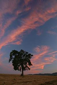 Oak tree at sunset, Carlton