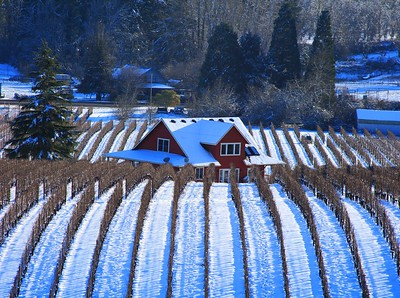 Sokol Blossor vineyard in snow