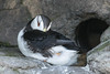 Resting horned puffin