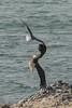 Gull chasing a bald eagle