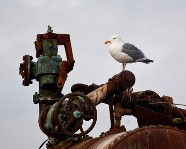 Industrial Gull