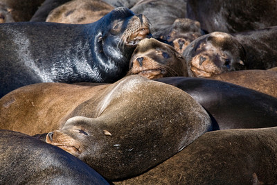 Pile of sea lions!