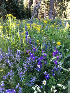 Now for the main show - Canyon Creek Meadows Wildflowers