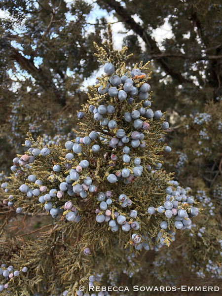 A couple of junipers were dense with berries.