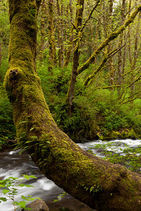 One of my favorite things about the Pacific North West are the gorgeous trees covered in moss and ferns.