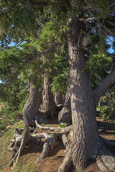 Grove of Old Trees