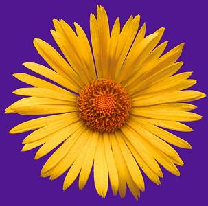 daisy IMG_3326rt purple