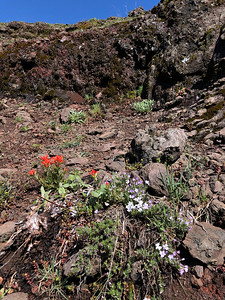 Paintbrush and Phlox on the upper trail between Cone Peak and Iron Mountain
