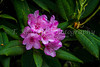 Rhododendrons in the forest of Yaquina Bay State Park, Newport, Oregon, USA.
