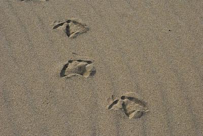Gull tracks