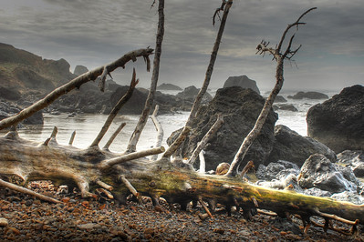 fallen tree on Indian Beach 2