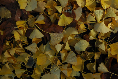 ginko leaves in morning driveway 1