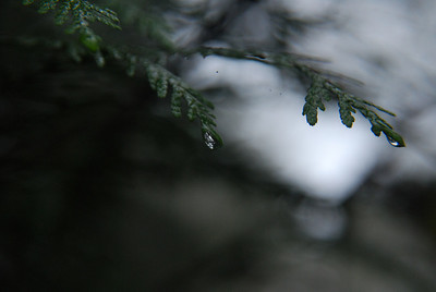 Drops on hemlock