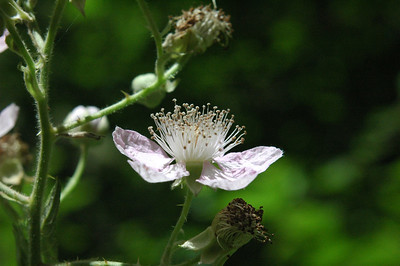 Blackberry blossom in Tryon Creek Park