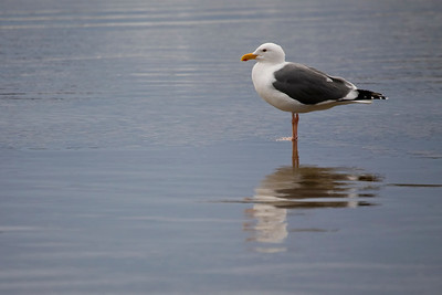 This is a new gull for me, the Thayer's gull!
