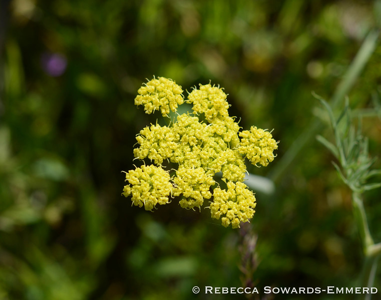 Common Lomatium
