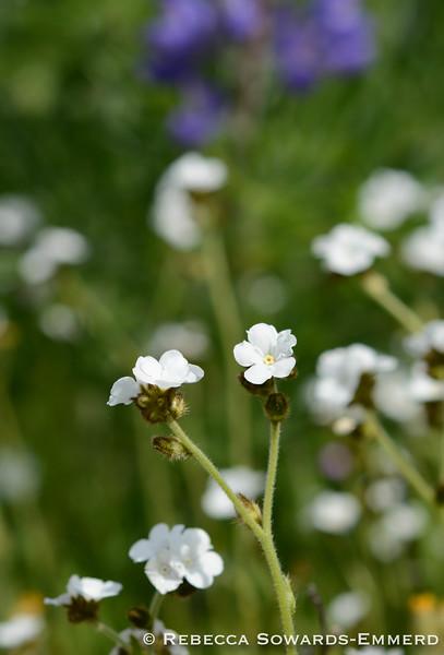 Popcorn flower