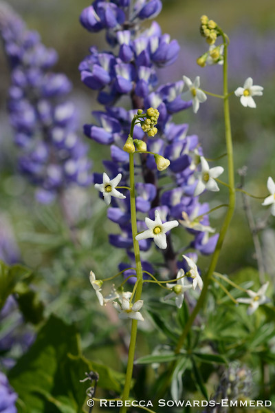 Coastal Manroot (lupine in background)