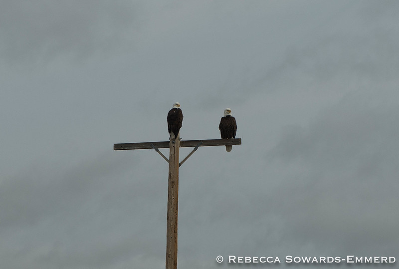 A pair of bald eagles in the wildlife area.