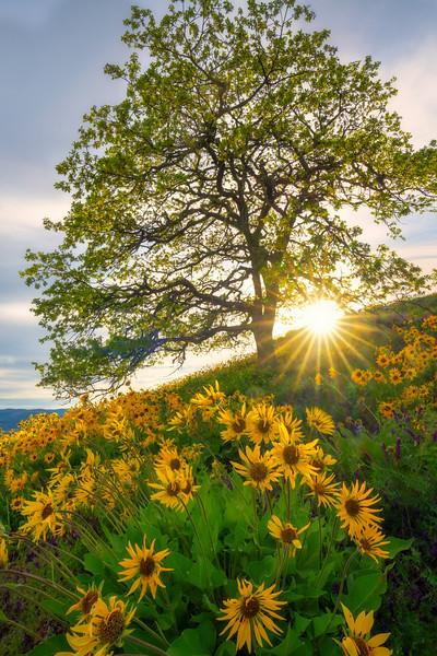 Dreams of an Oak Tree on a Hill